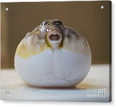 Blowfish Acrylic Print by Cynthia Snyder