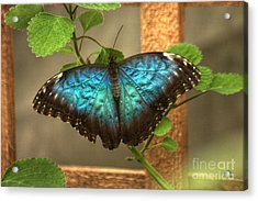 Blue And Black Butterfly Acrylic Print