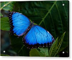 Blue And Black On Green Acrylic Print by Karen Stephenson