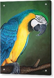 Blue And Gold Macaw Acrylic Print by Pam Kaur