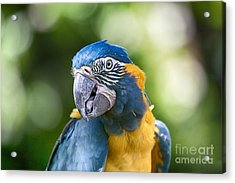 Blue And Gold Macaw V3 Acrylic Print by Douglas Barnard