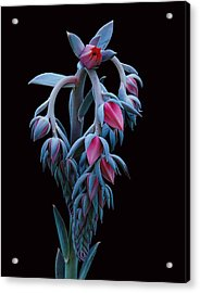 Blue And Pink Succulent Acrylic Print
