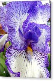 Blue And White Iris Closeup Acrylic Print by Virginia Forbes