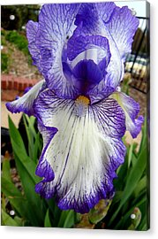 Blue And White Iris Acrylic Print by Virginia Forbes