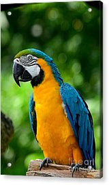 Blue And Yellow Gold Macaw Parrot Acrylic Print