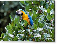 Blue And Yellow Macaw Acrylic Print by Art Wolfe