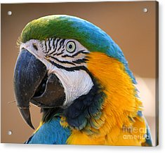 Acrylic Print featuring the photograph Blue And Yellow Macaw by Bob and Jan Shriner
