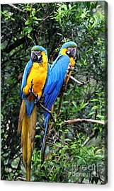 Blue And Yellow Macaws Acrylic Print