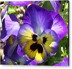 Blue And Yellow Pansies Acrylic Print by Cathy Lindsey