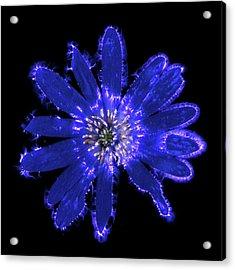Blue Anemone Flower Acrylic Print by Robin Noorda
