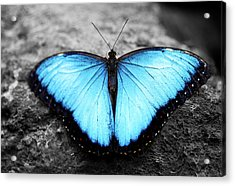 Blue Angel Butterfly 2 Acrylic Print