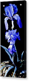 Blue Bearded Rhizomatous Irises Acrylic Print