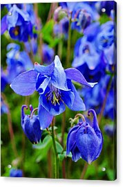Blue Beauty Acrylic Print
