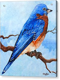 Blue Bird Acrylic Print by Curtiss Shaffer