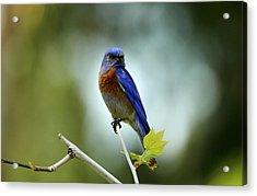 Blue Bird Halo Acrylic Print by Darrin Aldridge