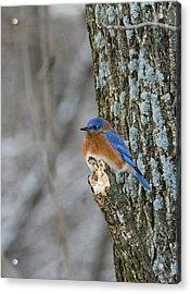 Blue Bird In Winter Acrylic Print by Jill Bell