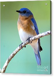 Blue Bird Portrait Acrylic Print