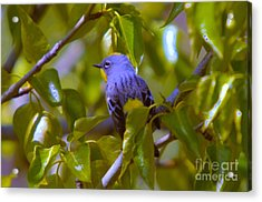 Blue Bird With A Yellow Throat Acrylic Print by Jeff Swan