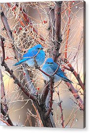 Blue Birds Acrylic Print