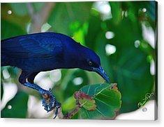 Blue-black Black Bird Acrylic Print