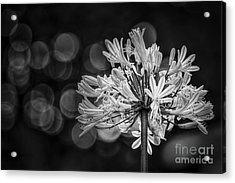 Blue Blooms B/w Acrylic Print by Marvin Spates