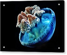 Blue Blubber Jelly - 2 Acrylic Print by Marianna Mills