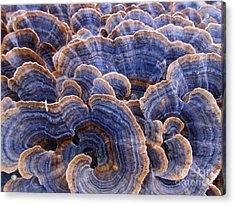 Blue Bracket Macro Acrylic Print