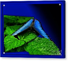 Blue Butterfly 02 Acrylic Print by Thomas Woolworth