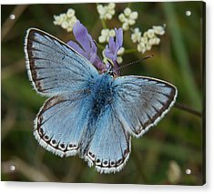 Acrylic Print featuring the digital art Blue Butterfly by Ron Harpham
