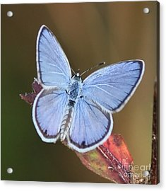 Blue Butterfly Square Acrylic Print by Carol Groenen