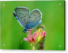 Blue Butterfly Acrylic Print by Wernher Krutein