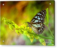 Blue Butterfly With Beautiful Colors Acrylic Print by Gina Koch
