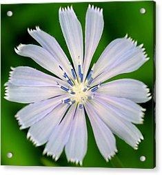 Blue Chicory Acrylic Print