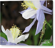 Acrylic Print featuring the photograph Blue Columbine by Roxy Riou