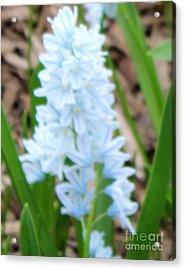 Blue Cone Flower Acrylic Print