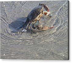 Acrylic Print featuring the photograph Blue Crab Chillin by Robert Nickologianis