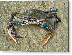 Blue Crab Confrontation Acrylic Print