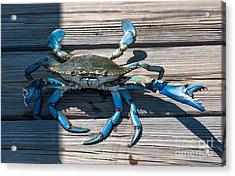 Blue Crab Pincher Acrylic Print