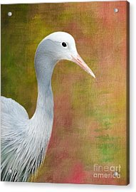 Blue Crane Acrylic Print