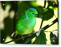 Blue Crowned Chlorophonia Acrylic Print by James Brunker