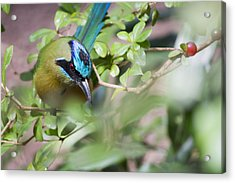 Acrylic Print featuring the photograph Blue-crowned Motmot by Rebecca Sherman