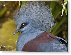Blue-crowned Pigeon Acrylic Print by David Millenheft