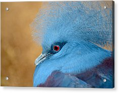 Blue Crowned Pigeon Acrylic Print by T C Brown