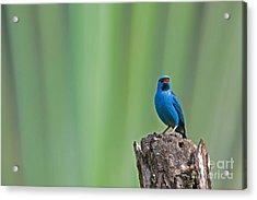 Blue Dacnis Acrylic Print
