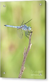Acrylic Print featuring the photograph Blue Dasher by Bryan Keil