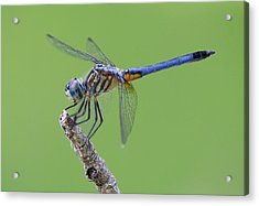 Blue Dasher Dragonfly Acrylic Print by Ester  Rogers