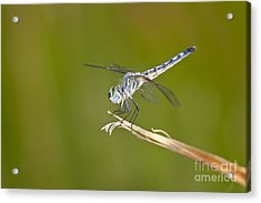 Acrylic Print featuring the photograph Blue Dasher On The Edge by Bryan Keil
