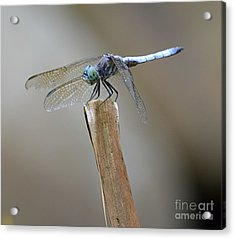 Acrylic Print featuring the photograph Blue Dasher by Randy Bodkins