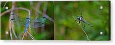 Blue Dragon Fly Wide Print Acrylic Print