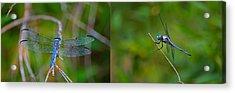 Blue Dragon Fly Wide Print Acrylic Print